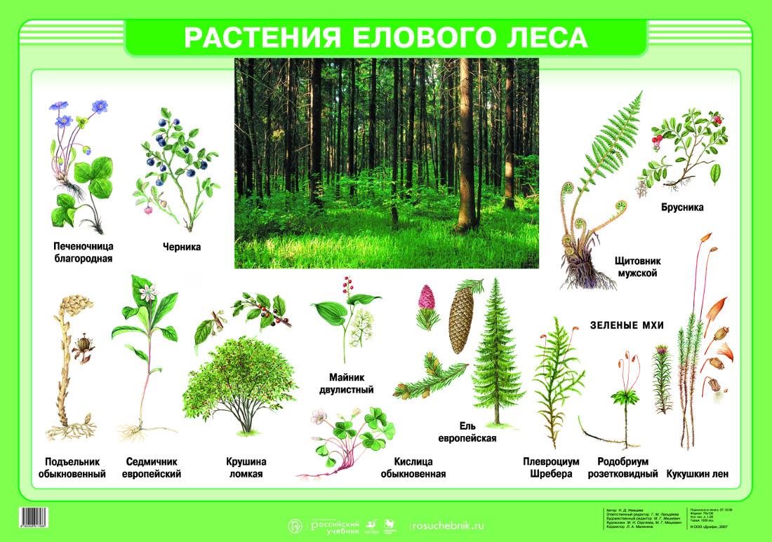Доклад о растения леса 6974