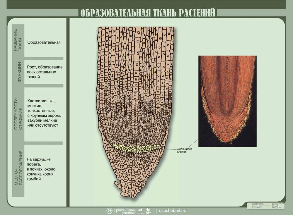 Картинки образовательные ткани растений