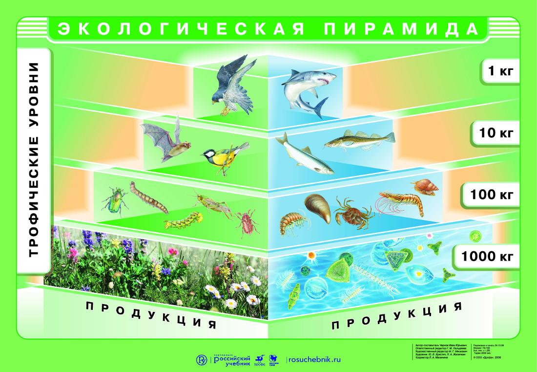 Пирамида биомассы картинка