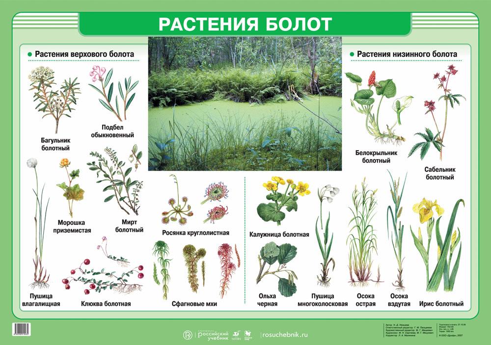 зависимости болотные растения картинки с названием работу
