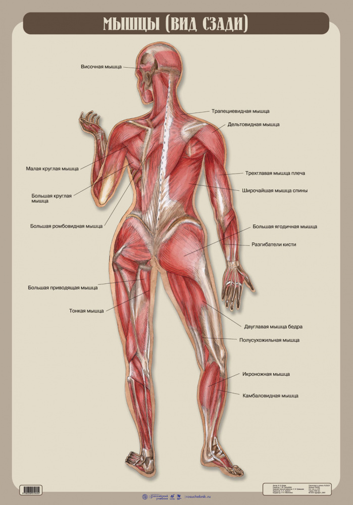 Мышцы. Вид сзади